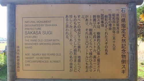 高照寺の倒スギ11