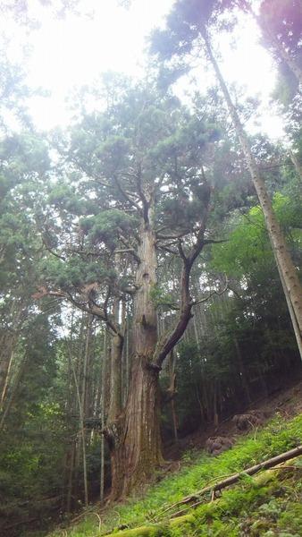 胎金寺山口奥の天狗杉1