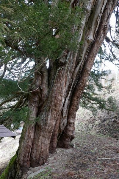 臥雲の三本杉 8
