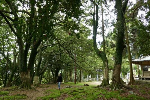 諭鶴羽神社の親子杉とアカガシ群落26