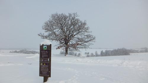 セブンスターの木 2