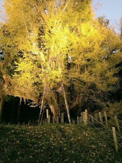 菩提寺のイチョウ 黄葉バージョン 8