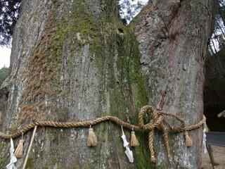 月瀬の大杉 3