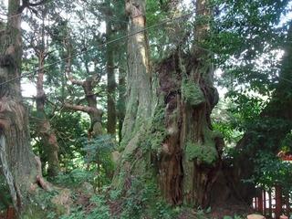 八つ房杉 2