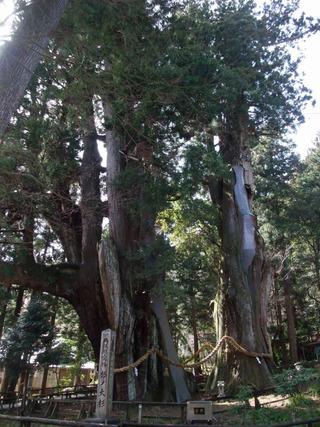 杉の大杉 4