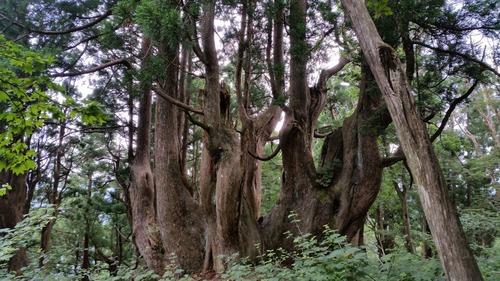 花脊の天然伏条台杉 1
