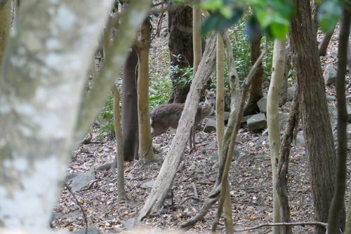 諭鶴羽神社の親子杉とアカガシ群落2