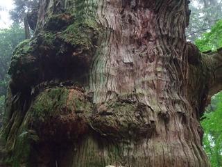 大杵社の大杉 5