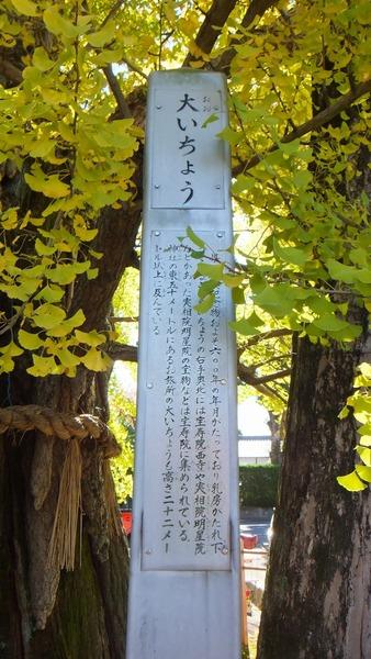 津島神社の大イチョウと奥の銀杏 6