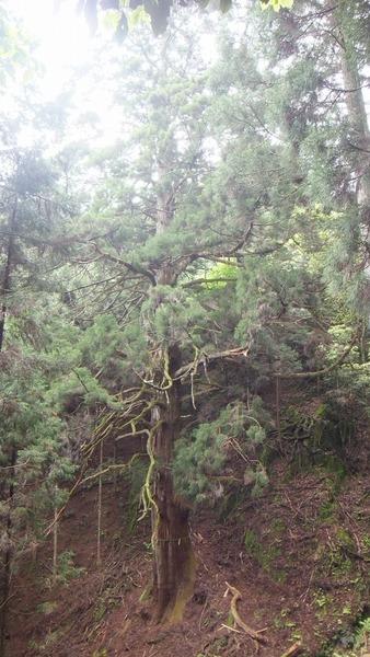 胎金寺山口の天狗杉1