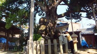 西教寺のイブキ 4