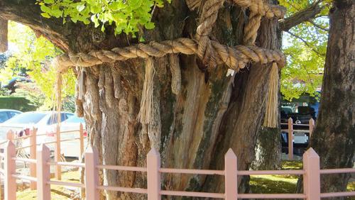 津島神社の大イチョウと奥のイチョウ