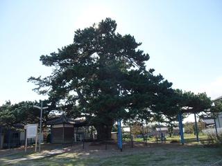 地蔵大松 2