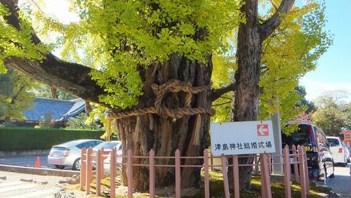 津島神社の大イチョウと奥の銀杏 7