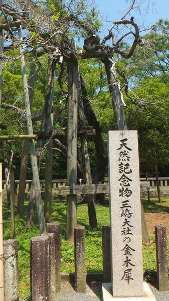 三嶋大社の金木犀 3
