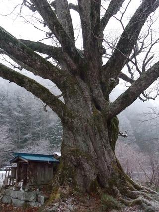 清内路 小黒川のミズナラ 8