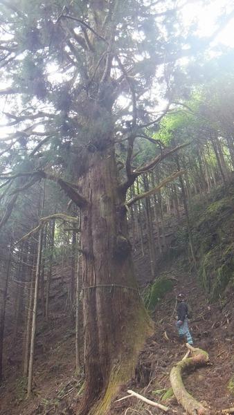 胎金寺山口の天狗杉6