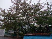 戸田材木店 シンボルツリー
