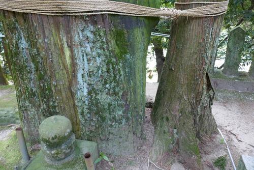 諭鶴羽神社の親子杉とアカガシ群落15