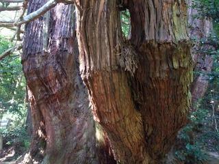 高井の千本杉 5