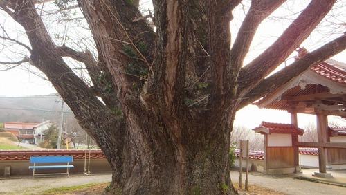 浄善寺の銀杏 4
