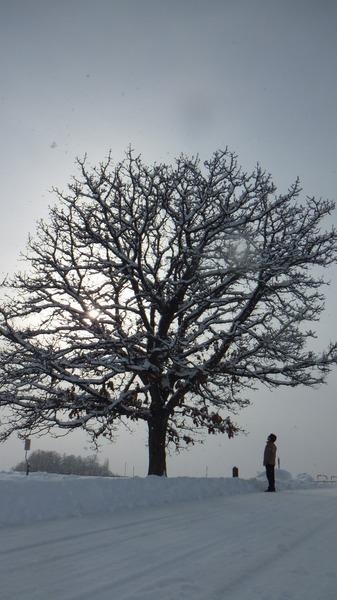 セブンスターの木 8
