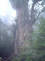 25縄文杉1