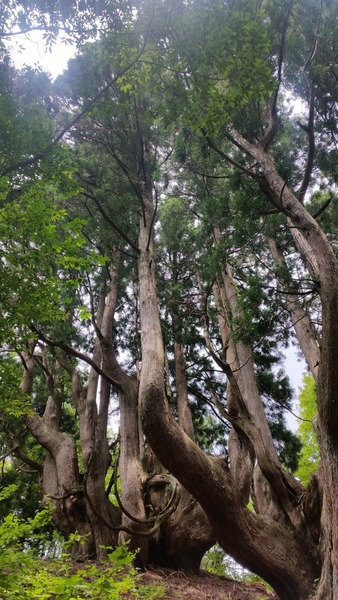 花脊の天然伏条台杉 4