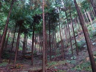 茨木産桧 2