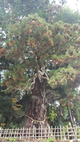 堂庭のスギ(千年杉) 3