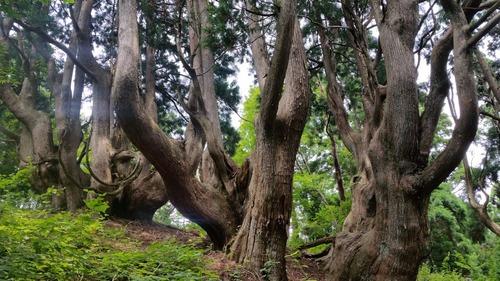 花脊の天然伏条台杉 3