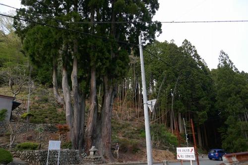 吉沢の田高杉8