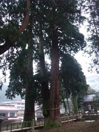 栢野の大杉 3