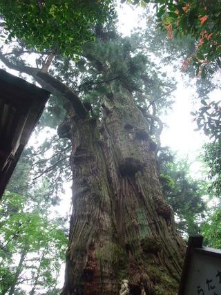大杵社の大杉 19