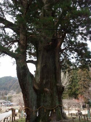月瀬の大杉 4
