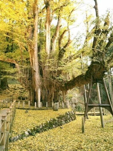 菩提寺のイチョウ 黄葉バージョン 2