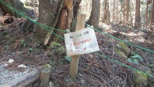 株杉 13