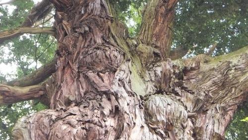 堂庭のスギ(千年杉) 13