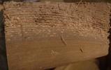 ケヤキ被害木 4