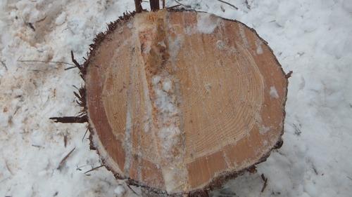 伐採実習13