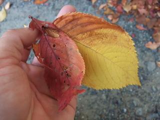 紅葉・黄葉した桜の葉