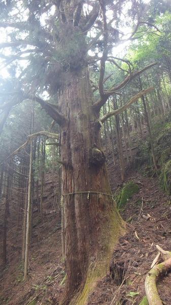 胎金寺山口の天狗杉5