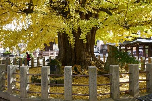 飛騨国分寺の大イチョウ4