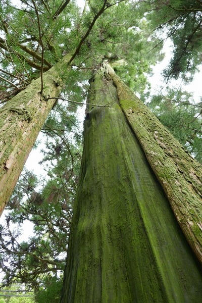 諭鶴羽神社の親子杉とアカガシ群落19