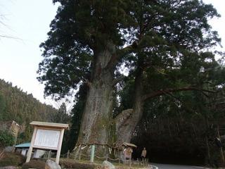 月瀬の大杉 8