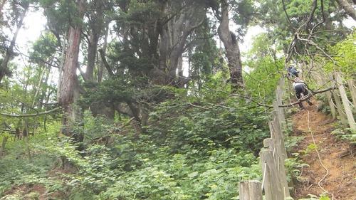 花脊の天然伏条台杉 11