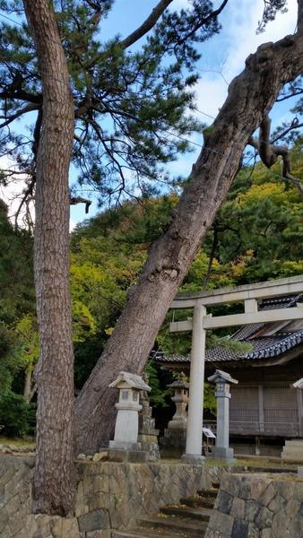 南志見住吉神社の松1