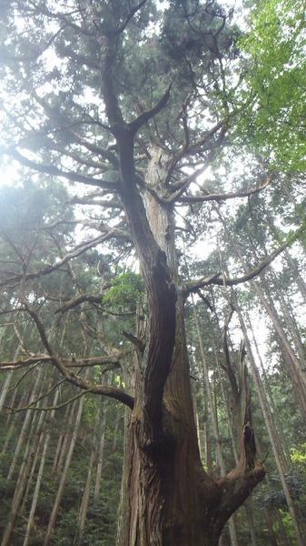 胎金寺山口奥の天狗杉3