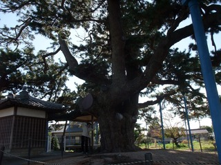 地蔵大松 9