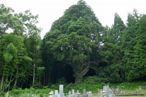 沢田の大杉 3